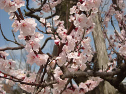 21世紀美術館前の桜です